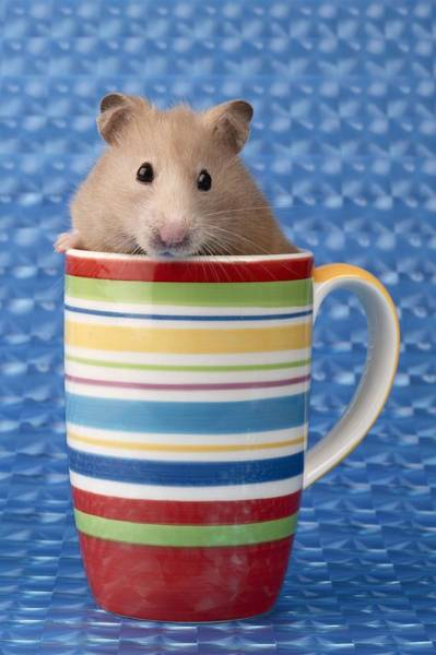 Hamster Photograph - Hamster In Cup by MGL Meiklejohn Graphics Licensing