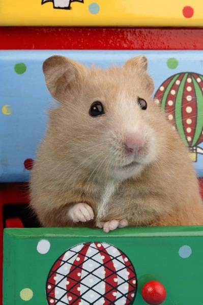 Hamster Photograph - Hamster In Draw by MGL Meiklejohn Graphics Licensing