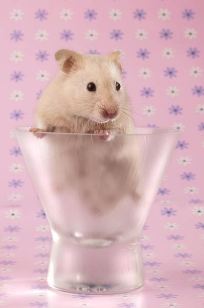 Hamster Photograph - Hamster In Glass by MGL Meiklejohn Graphics Licensing