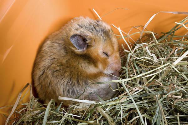 Golden Hamster Photograph - Hamster by Jean-Michel Labat