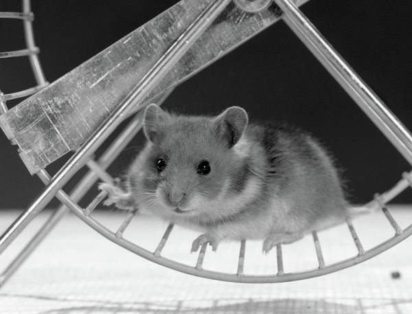 Hamster Photograph - Hamster On Exercise Wheel Looking by Vintage Images