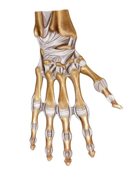 Atlas Of Human Anatomy Wall Art - Photograph - Hand Joints by Asklepios Medical Atlas