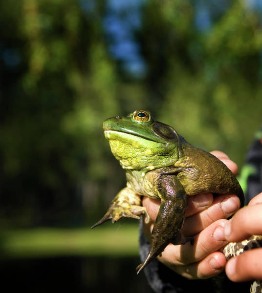 Bull Frog Photograph - Hands Holding A Bull Frog, Maine, New by Peter Dennen