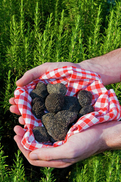 Tubers Photograph - Hands Holding A Summer Black Truffles by Nico Tondini