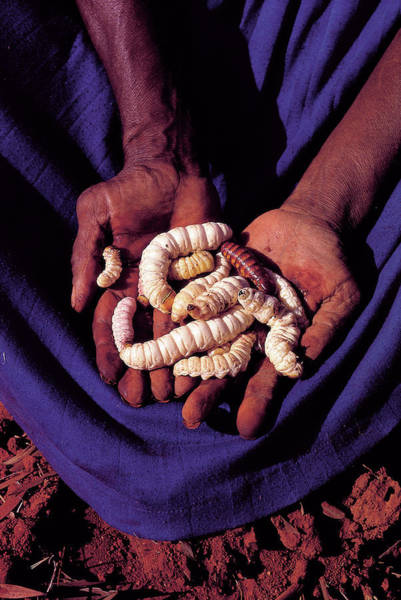 Larva Wall Art - Photograph - Hands Holding Witchetty Grubs For Eating by Peter Menzel/science Photo Library