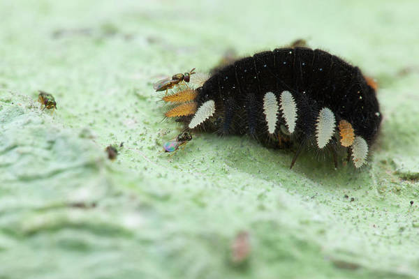 Fungus Photograph - Handsome Fungus Beetle Larva And Wasps by Melvyn Yeo