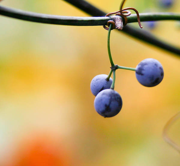 Blue Berry Photograph - Hanging Berries by Shane Holsclaw