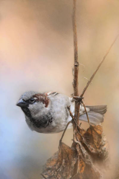 House Sparrow Photograph - Hanging On by Jai Johnson