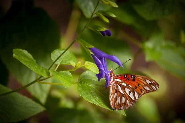 Passion Butterfly Photograph - Hanging On by Penny Lisowski