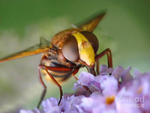 European Hornet Photograph - Hanging Upside Down by Brothers Beerens
