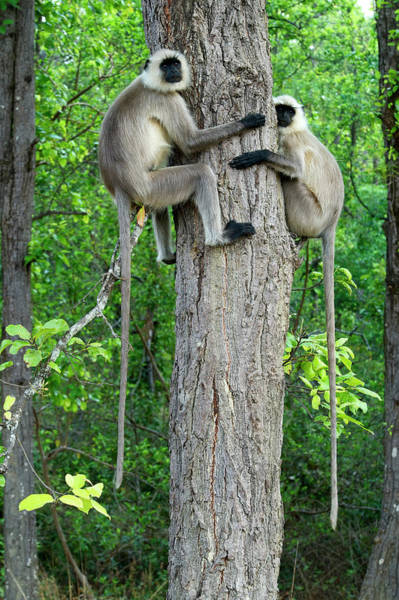 Urban Wildlife Photograph - Hanuman Langurs Semnopithecus Entellus by Nicholas Reuss