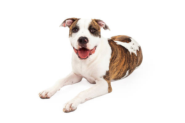 Staffordshire Wall Art - Photograph - Happy American Staffordshire Terrier Dog Laying by Susan Schmitz