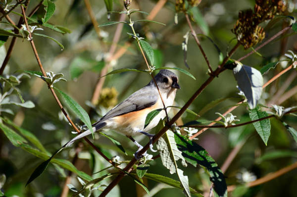 Photograph - Happy As A Titmouse by Lori Tambakis