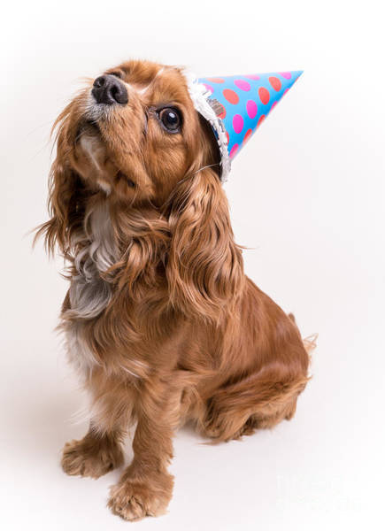 Spaniel Photograph - Happy Birthday Dog by Edward Fielding