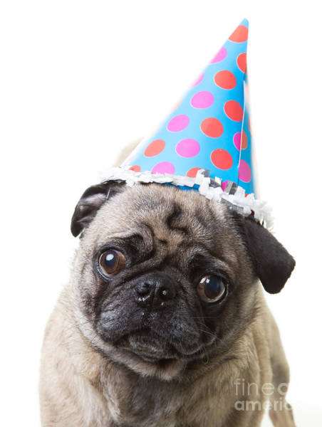 Pug Photograph - Happy Birthday Pug Card by Edward Fielding