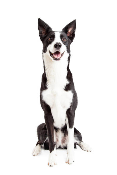 Crossbreed Wall Art - Photograph - Happy Border Collie Mix Breed Dog Sitting by Susan Schmitz