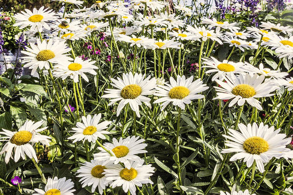 Digital Art - Happy Daisies by Photographic Art by Russel Ray Photos