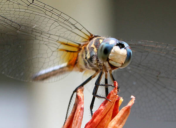 Photograph - Happy Dragonfly by William Selander