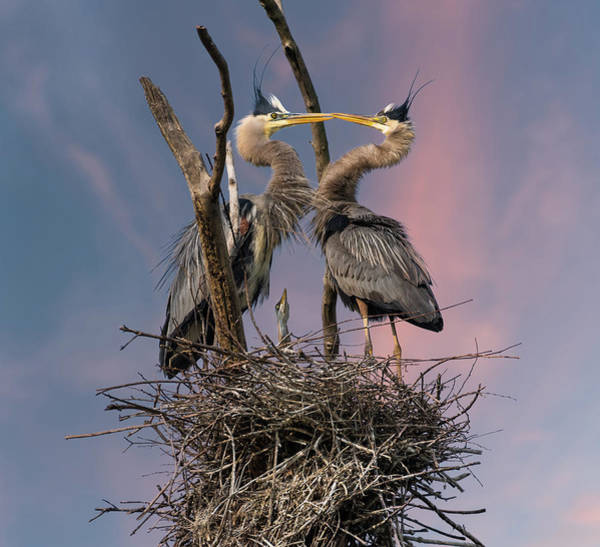 Great Blue Heron Wall Art - Photograph - Happy Family Trio by Kevin Wang