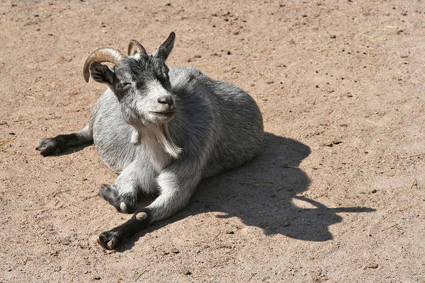 Photograph - Happy Goat by Dreamland Media