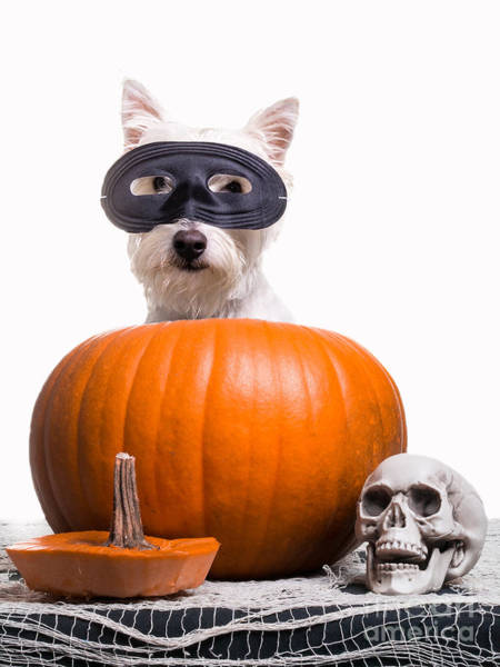 Westie Photograph - Happy Halloween by Edward Fielding
