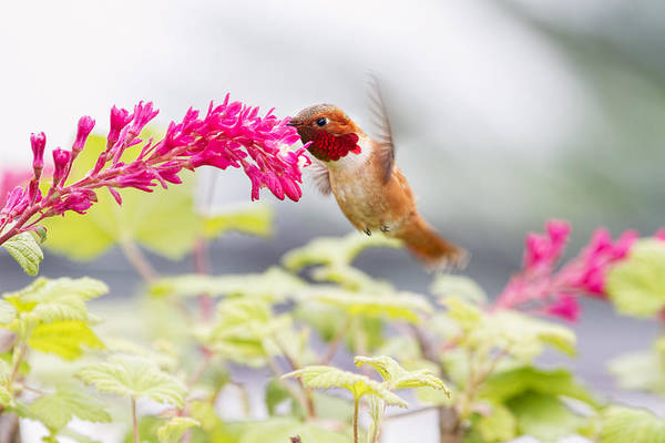 Photograph - Happy Hummer by Peggy Collins