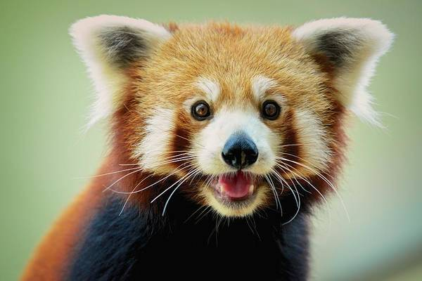 Photograph - Happy Red Panda by Aaronchengtp Photography