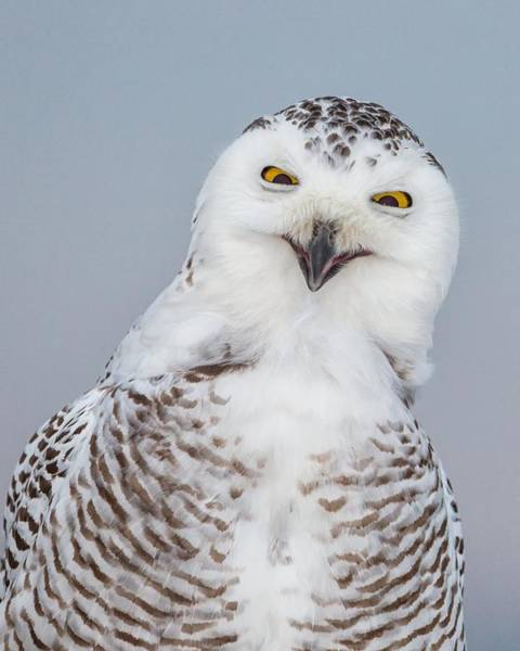 Happy Snowy Owl Art Print