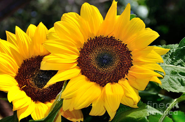 Sunflower Seeds Photograph - Happy Sunflowers by Kaye Menner