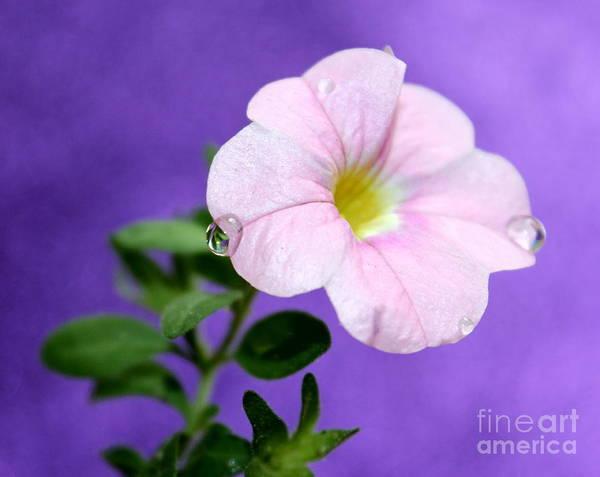 Petunias Photograph - Happy Tears by Krissy Katsimbras
