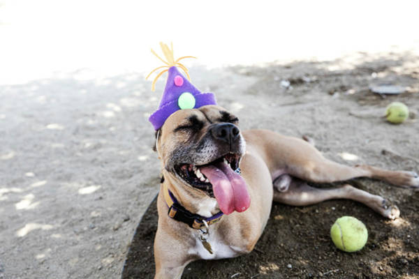 Adoption Wall Art - Photograph - Happy Tripod Boxer Mix With A Birthday by Amandafoundation.org
