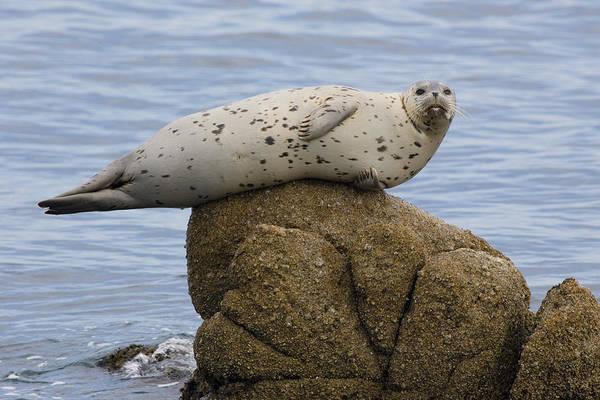 Wall Art - Photograph - Harbor Seal by Craig K. Lorenz