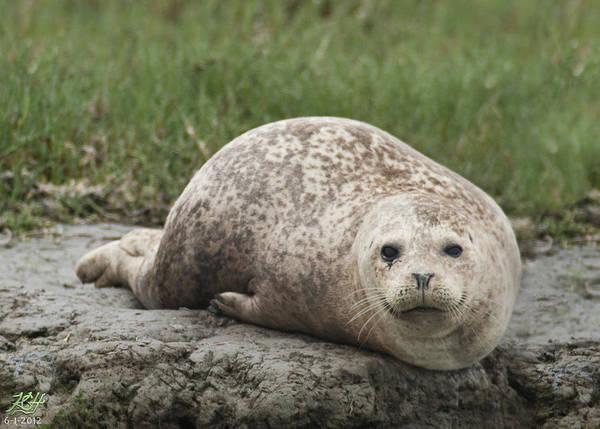 Photograph - Harbor Seal by Kenneth Hadlock