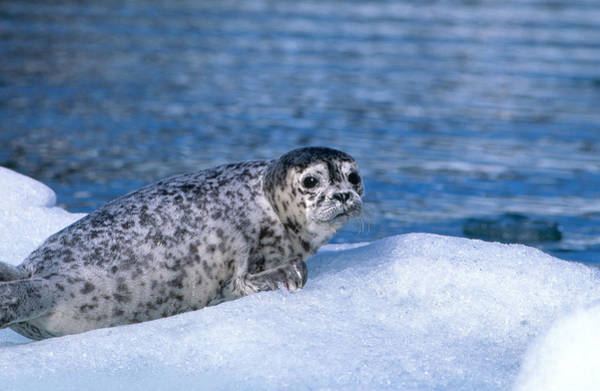 Wall Art - Photograph - Harbor Seal Pup by F. Stuart Westmorland