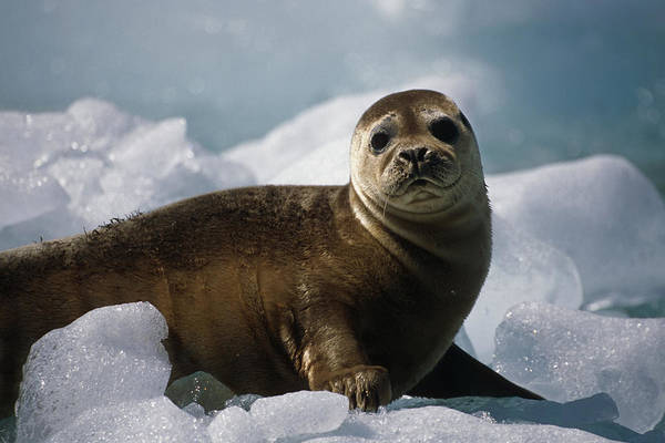 Barrett Photograph - Harbor Seal Pup On Ice Pack Tracy Arm by Peter Barrett