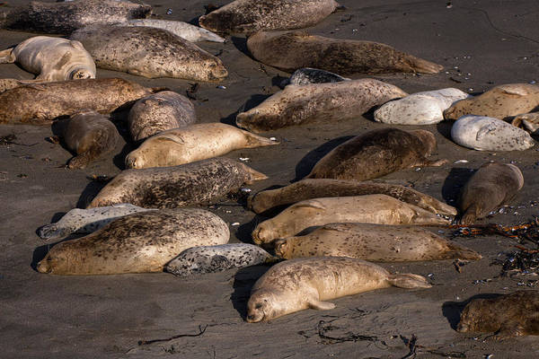 Wall Art - Photograph - Harbor Seal Rookery On The Sonoma Coast by Kathleen Bishop