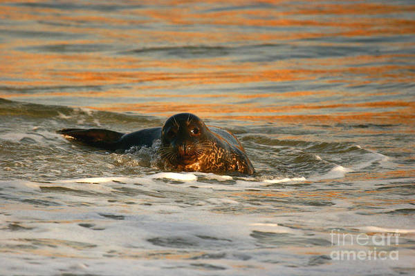 Photograph - La Jolla Seal Sunset by John F Tsumas