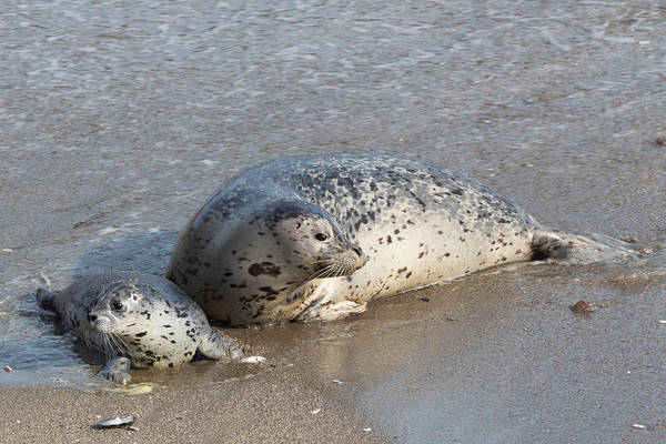 Wall Art - Photograph - Harbor Seals In The Surf by Kathleen Bishop