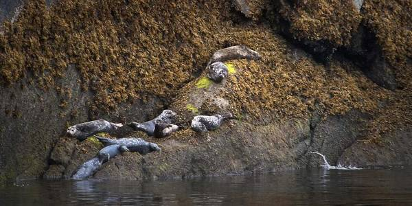 Photograph - Harbor Seals by Natalie Rotman Cote