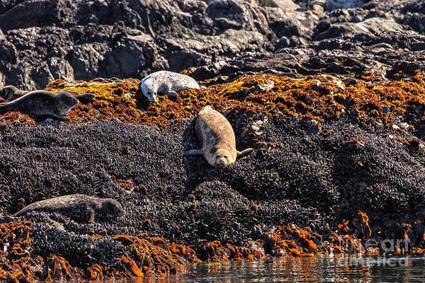 Photograph - Harbor Seals by Stuart Gordon