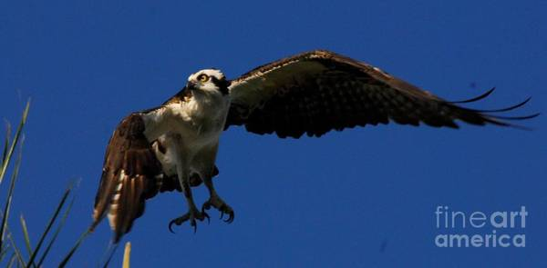 Ospreys Photograph - Hard Right by Quinn Sedam