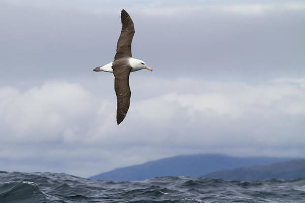 Waved Albatross Wall Art - Photograph - Hard Right Turn by Tim Grams