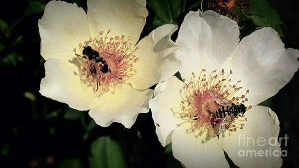 Photograph - Hard Working Bee Twins  by Susanne Van Hulst