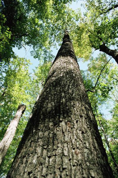 Hardwood Photograph - Hardwood Tree by David Hay Jones/science Photo Library