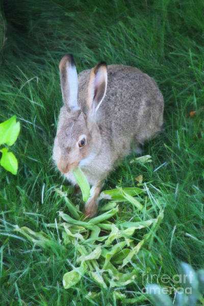 Digital Art - Hare Eating A Peapod by Donna L Munro