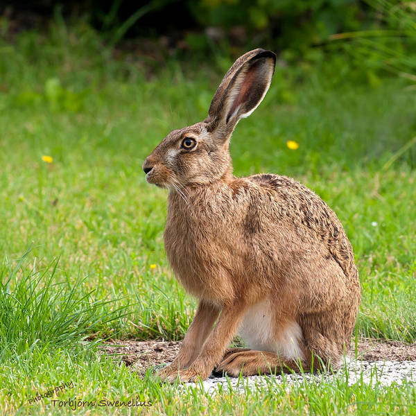 Photograph - Hare Profile by Torbjorn Swenelius