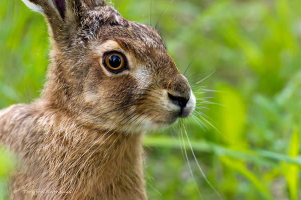 Photograph - Hare by Torbjorn Swenelius