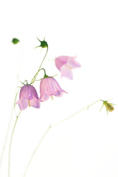 Perennial Photograph - Harebells (campanula Rotundifolia) by Emmeline Watkins/science Photo Library