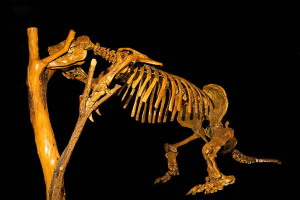 Photograph - Harlans Ground Sloth by Millard H. Sharp