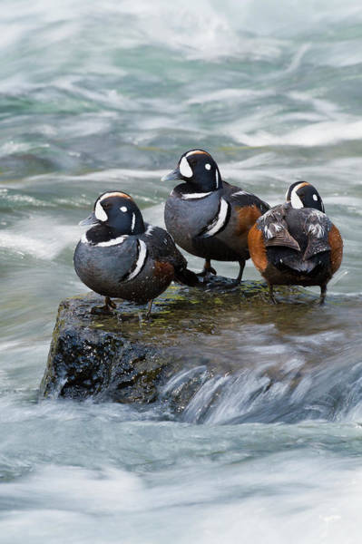 Drake Photograph - Harlequin Drakes Resting In Fresh Water by Ken Archer